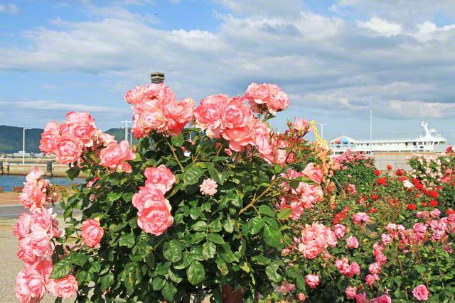 香川県高松市の海の玄関口「サンポート高松」では、フェリーを背景に、色とりどりのバラが咲き誇っていた=香川支局・池田清美通信員