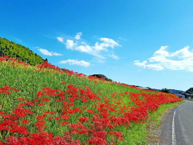 20万本のヒガンバナが咲き誇り、地域を赤く彩った(鹿児島県さつま町)=鹿児島支局・大坪久美子通信員