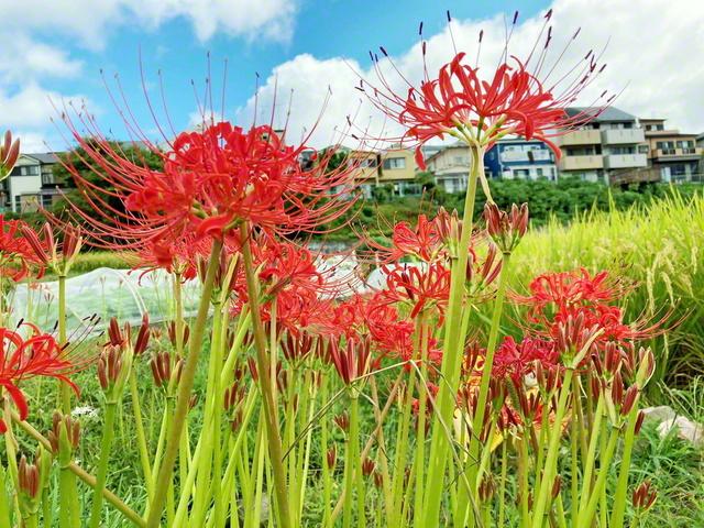 「情熱」の花言葉を持つヒガンバナ。天に向かって高さを競うように、田んぼのあぜ道に鮮やかに咲いていた(京都府長岡京市)=京都支局・石橋みどり通信員