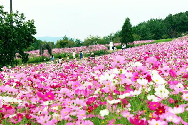 「花の駅せら」では、今年も色鮮やかなコスモスが咲き薫った(広島県世羅町)=中国支社・奥野真由美通信員