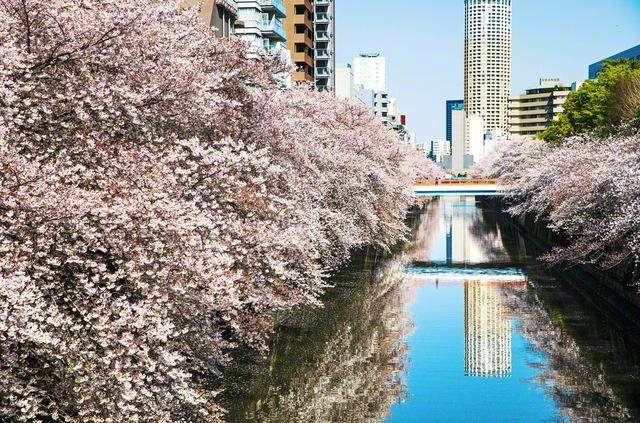 戸田先生の自宅は目黒が最寄り駅で、池田先生は何度も降り立った。時に師弟して語り歩いた権之助坂の先、目黒川の両岸に、撮影前夜の嵐に耐えた桜が、輝くばかりに咲いていた