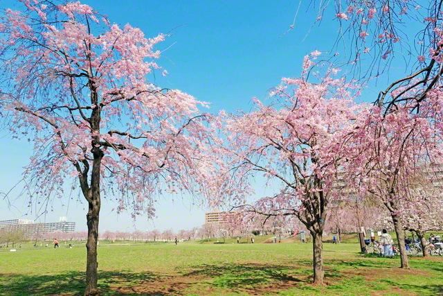 荒川区東尾久に広がる都立尾久の原公園。しだれ桜が約170本植樹され、原っぱは開放感であふれる。1957年(昭和32年)の夏季ブロック指導では、周辺の会場で池田先生と共に思い出の大会も