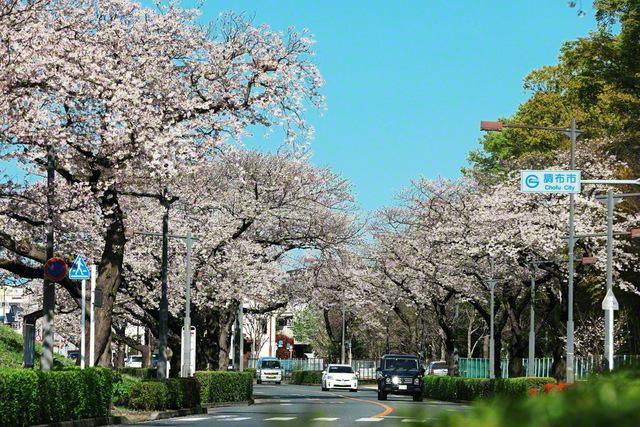調布市と狛江市を通る、多摩川沿いの桜並木。1992年4月3日、池田先生は調布文化会館を訪れ、「常勝の/錦州城が/東京に/多摩川みつめて/宣言響きぬ」と調布総区の友に詠み贈った