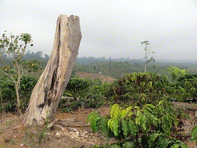 原生林の伐採跡地にコーヒー植林が行われている(インドネシア・スマトラ島)