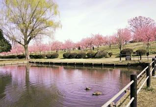 古河公方(こがくぼう)公園では約1500本のハナモモが来園者を和ませた。鮮やかなピンクが水面にも映る(茨城県古河市)=茨城支局・須田実通信員
