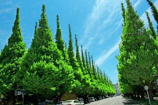 目の覚めるような緑のイチョウ並木。みずみずしい生命が青空へ勇んで伸びていく(池田先生撮影。今月、都内で)