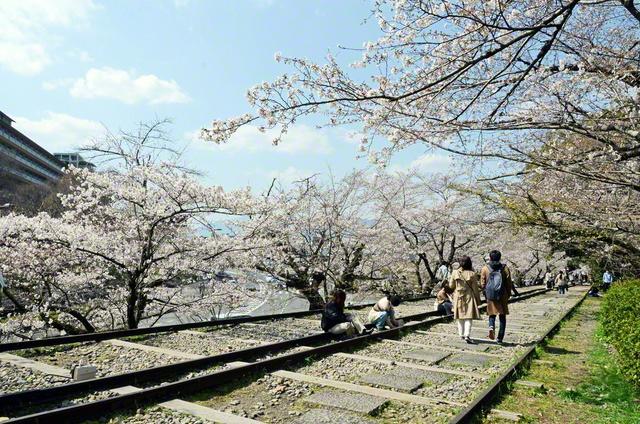 傾斜鉄道の跡地である蹴上インクライン。ソメイヨシノなど約90本の桜がアーチをつくっていた(京都市)=京都支局・佐藤忠明通信員