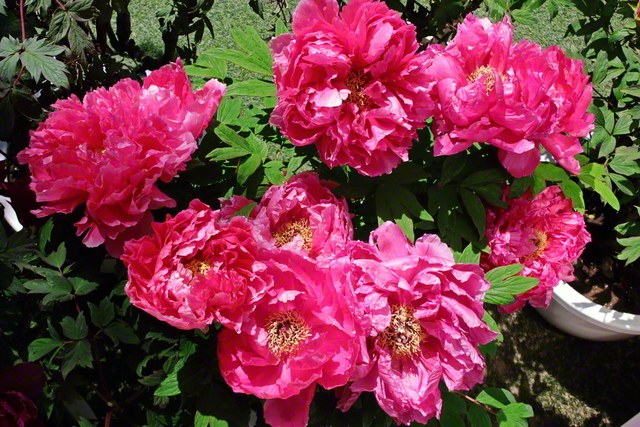 真っ赤な牡丹(ぼたん)が鮮やかに咲き誇る。創価の女性たちの生命の輝きと団結のように(4月、池田先生撮影、東京・新宿区内で)