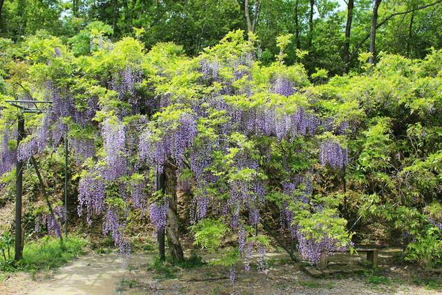 日本一長い藤棚(1646メートル)として知られる、みやまの里森林公園内の「藤棚ロード」(和歌山県日高川町)=和歌山支局・瀬戸伸幸通信員