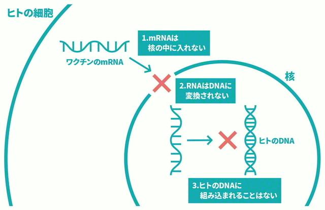 mRNAで人の遺伝情報(DNA)が変わることはない(図は厚生労働省のホームページより)
