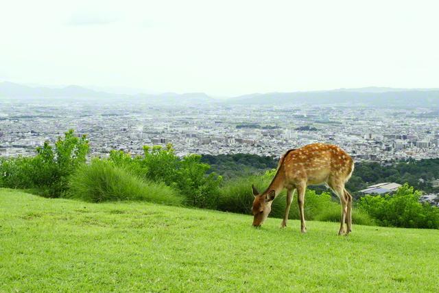 若草山の中腹から望む古都・奈良の街並み。なだらかに広がる山の緑野では、草をはむ鹿の群れを見ることができる(奈良市)