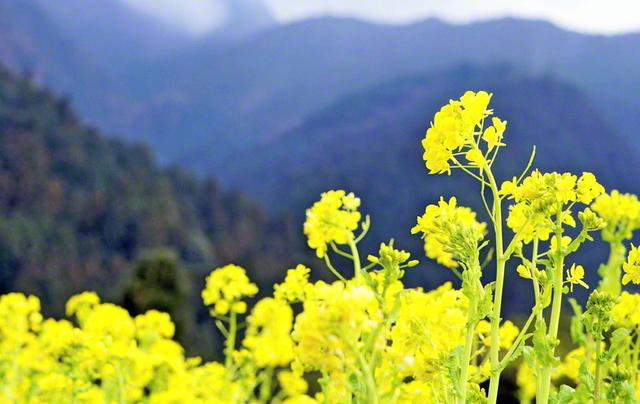 蕪村 や 与謝 菜の花
