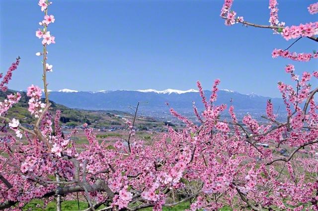 """白雪を冠した山々を遠くに望みつつ、青空に映える桃の花を、池田先生はカメラに収めました(2002年4月、山梨で)。「桃」は古来、""""強い生命力""""の象徴とされてきました。厳冬に耐え、「希望の春」「勝利の春」の到来を宣言するかのように、鮮やかに色づいた花々が咲き誇っています"""