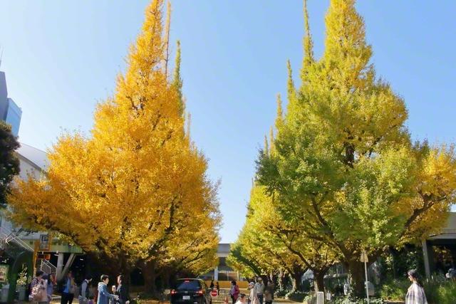池田先生が2017年11月、東京・信濃町の総本部の近くにある外苑のイチョウ並木を撮影した写真です。イチョウはとても寿命が長く、上へ上へ伸び続ける生命力の強い木です
