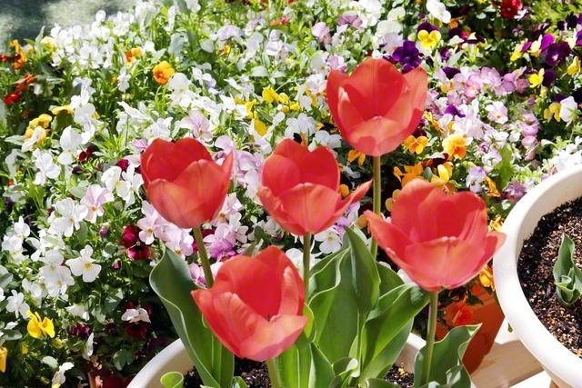 チューリップが仲良く咲いています。2020年3月、池田先生が都内で撮影した一枚です。「春が来るよ!」「楽しみだね」と、おしゃべりしているかのよう