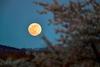 桜花の向こうに輝く満月