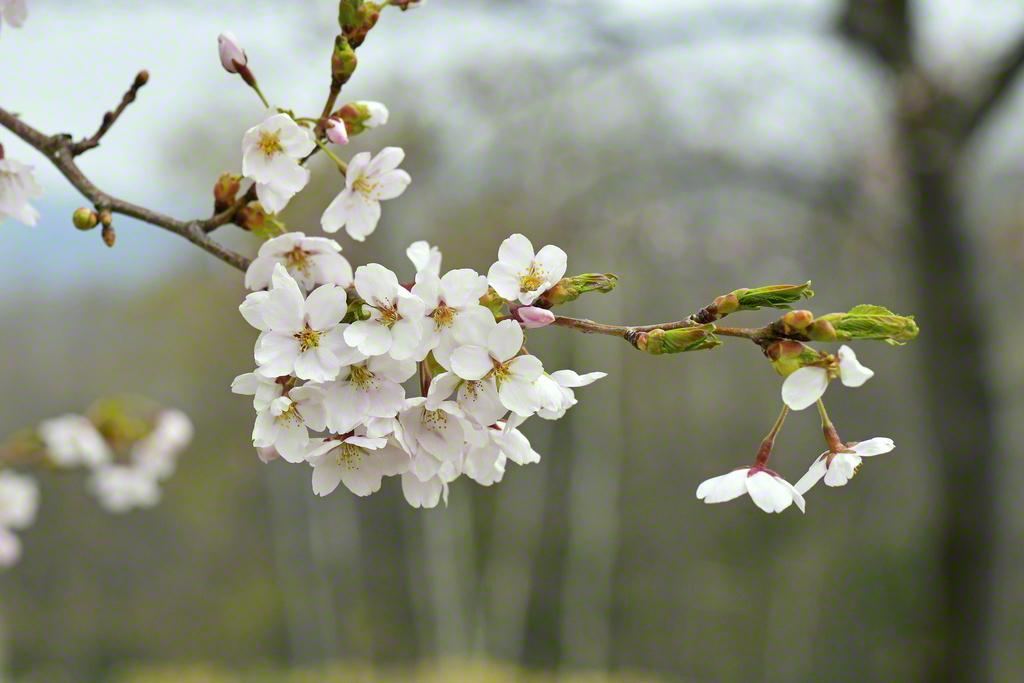 池田先生の会長就任60周年をことほぐように開花(5月3日)