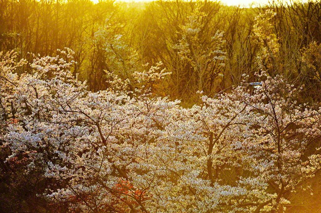 満開の桜が夕日に輝いていた
