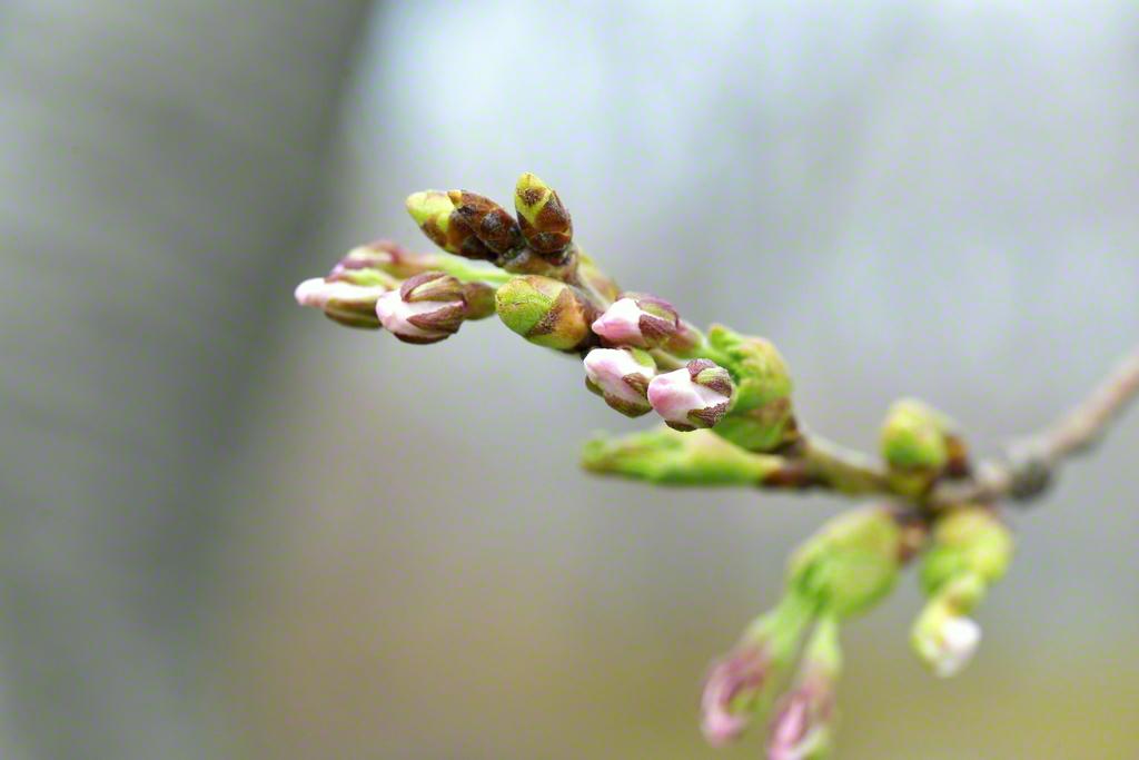 開花に向け桜のつぼみも膨らむ