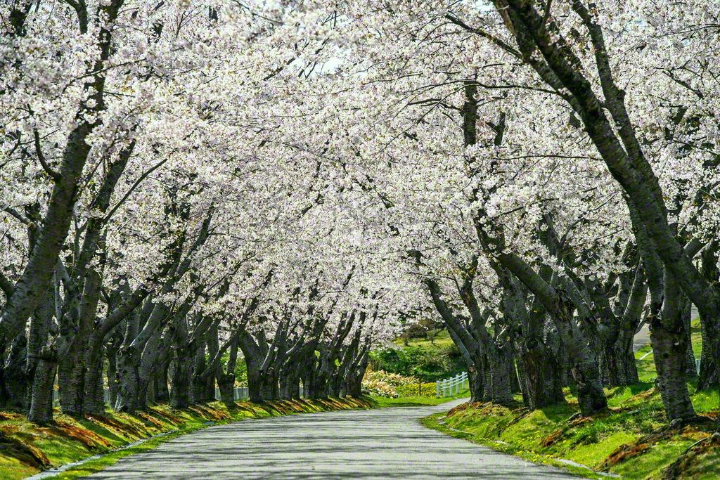 壮麗な桜のトンネルが続く。開園43年の歴史を薫らせ