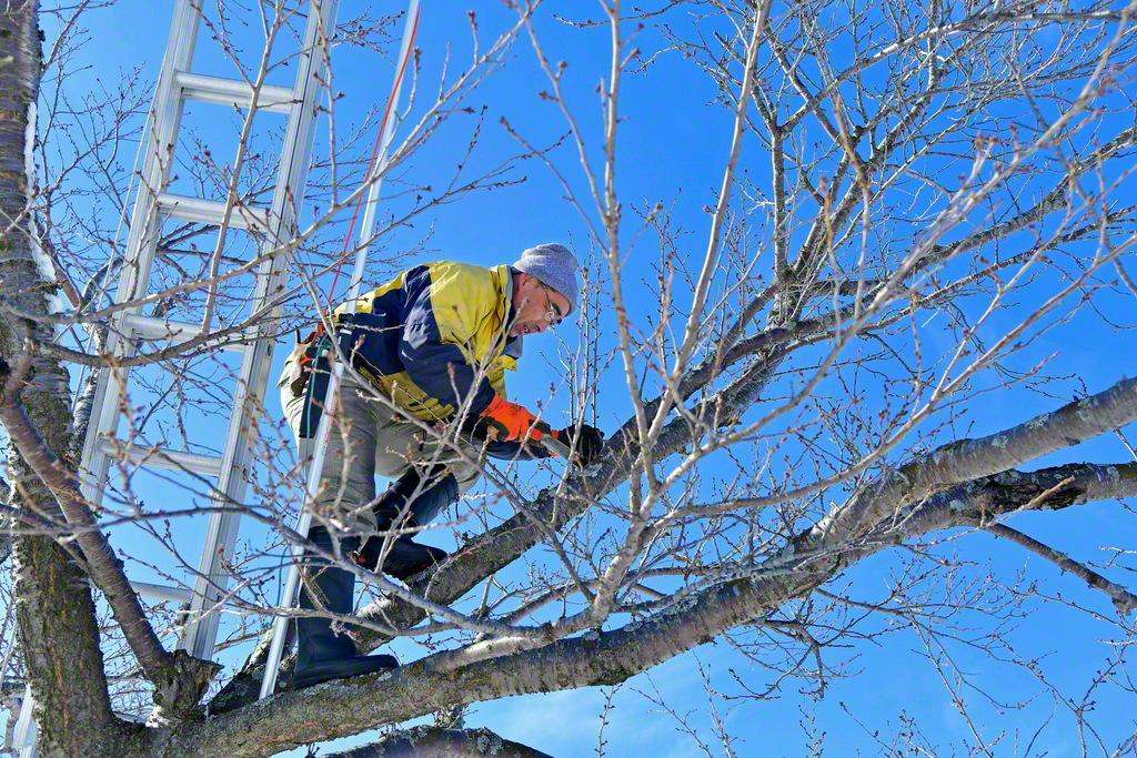 冬の間も桜守たちの剪定作業は続く