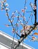 総本部で桜が開花